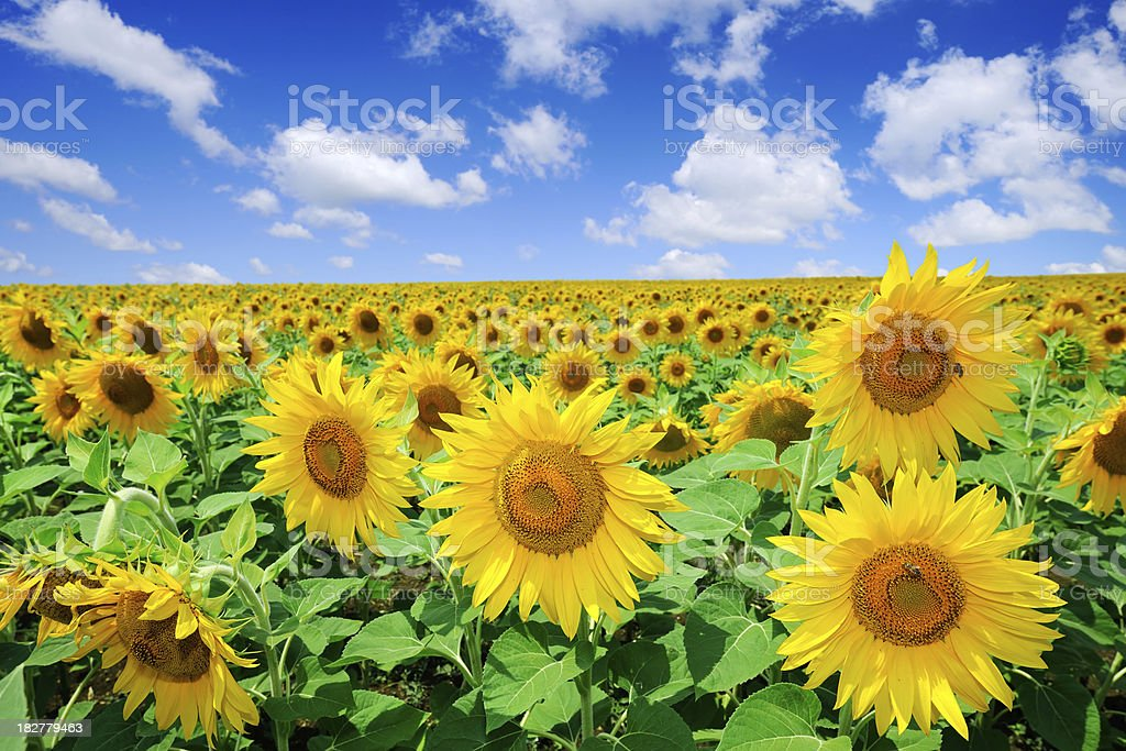 Golden sunflowers, the blue sky and white clouds royalty-free stock photo