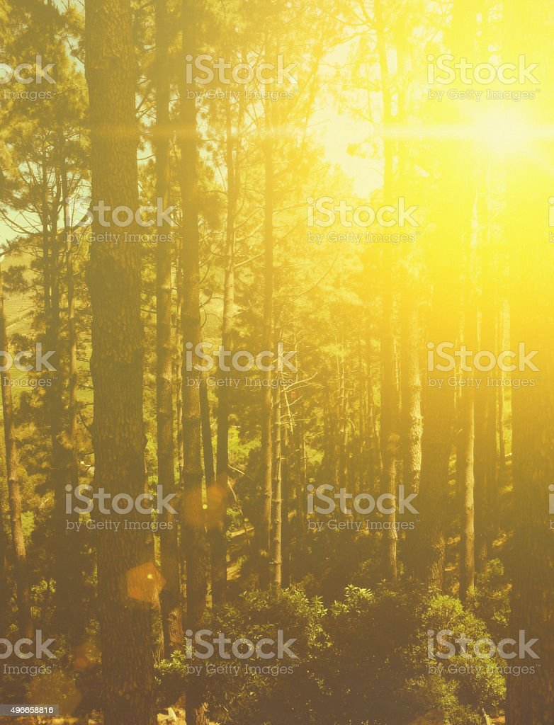 Golden sunlight shining through pine trees, Table Mountain, Cape Town stock photo