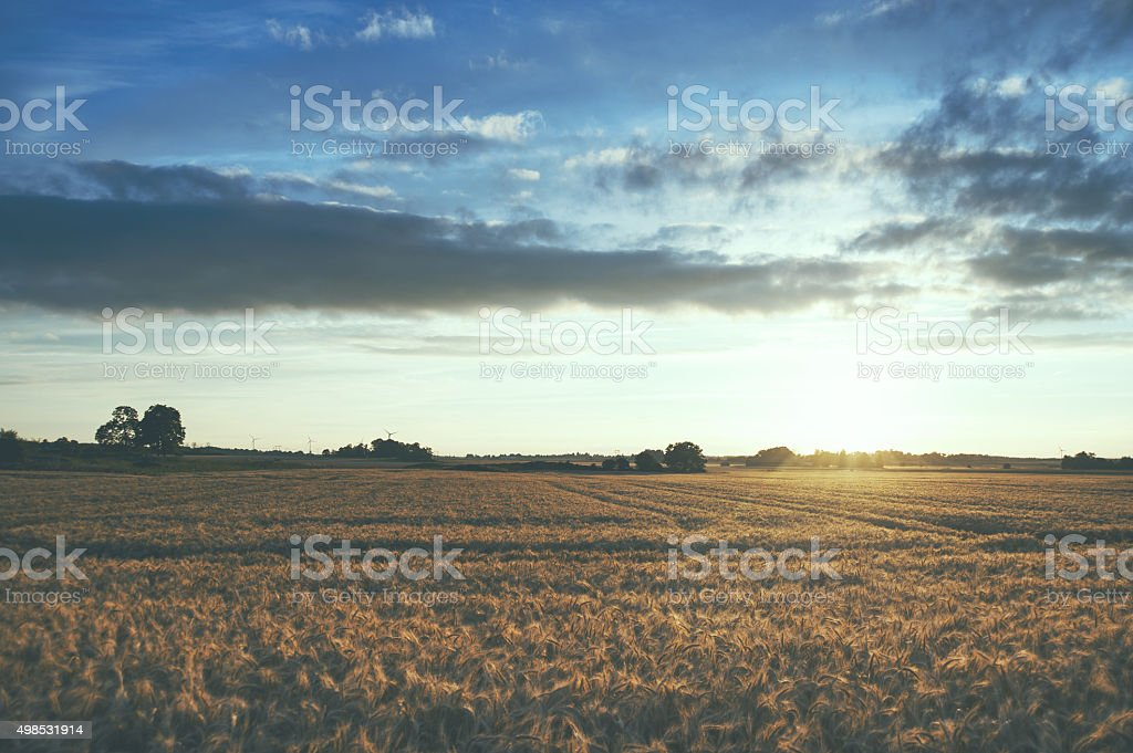 Golden sunset over a cultivated field with barley stock photo