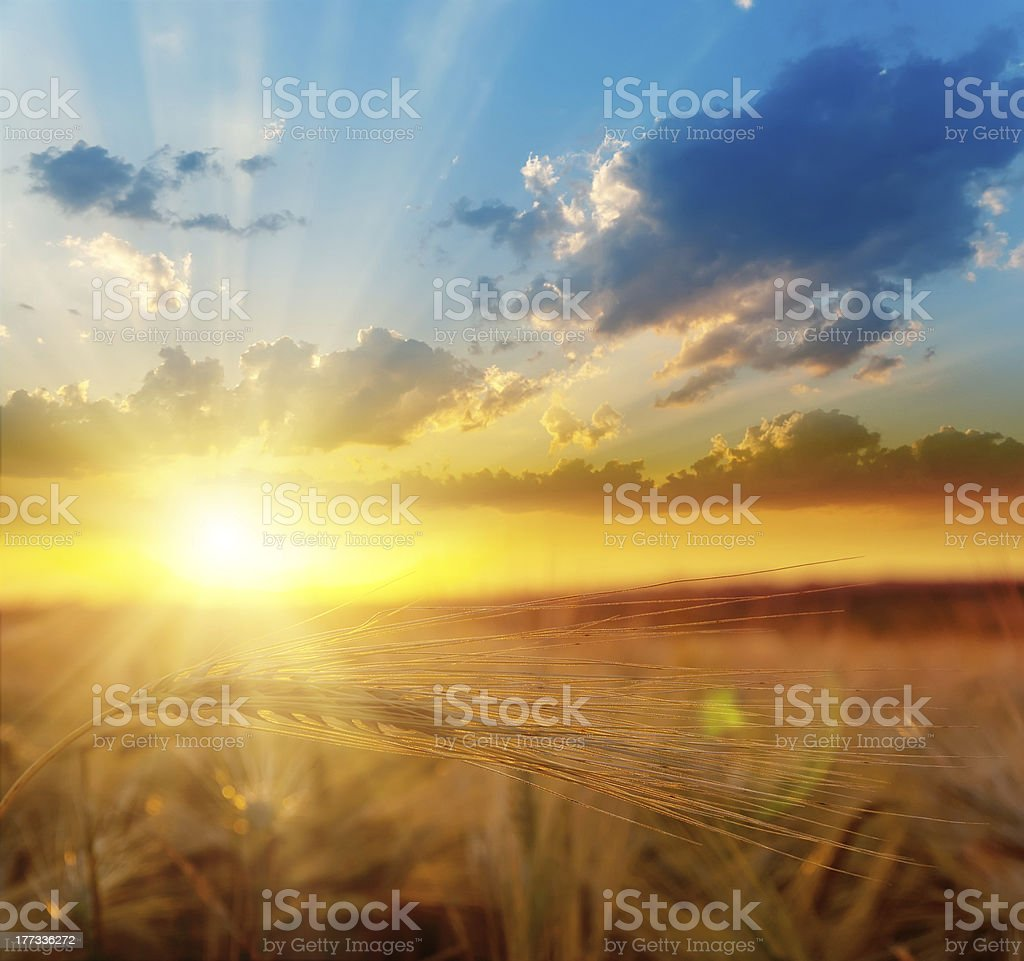 golden sunset over field with barley stock photo
