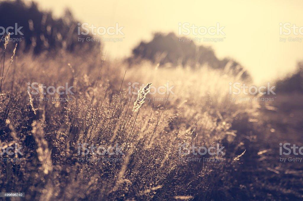 Golden sunset over wheat field - Stock image stock photo