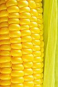 Golden sweet corn close-up