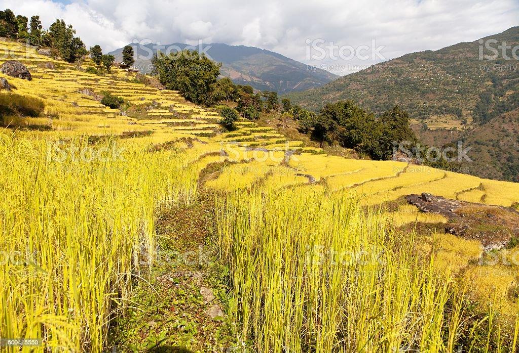 golden terraced rice field in Solukhumbu valley, Nepal stock photo