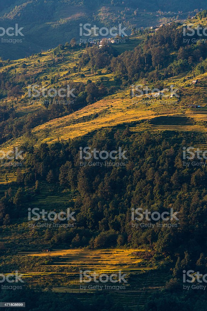 Golden terraces of millet farms high in Himalayas Nepal stock photo