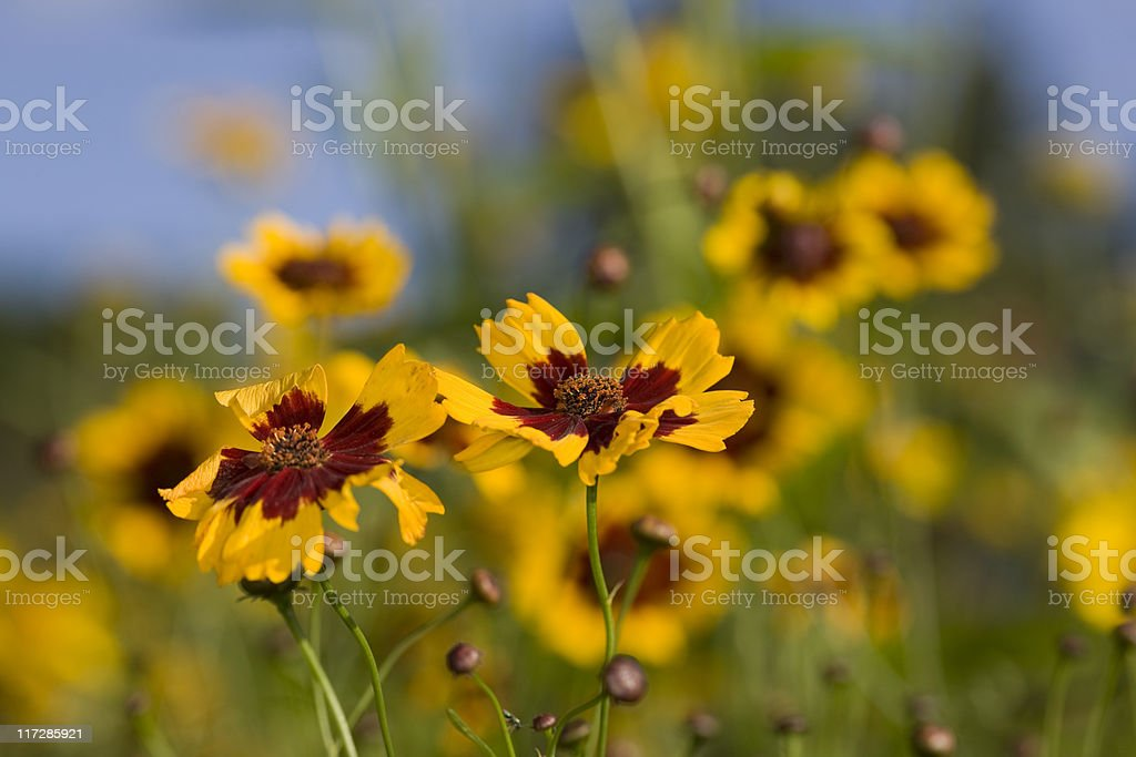 Golden tickseed (Coreopsis tinctoria) stock photo