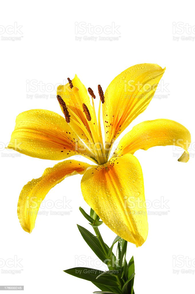 golden tiger lily isolated stock photo