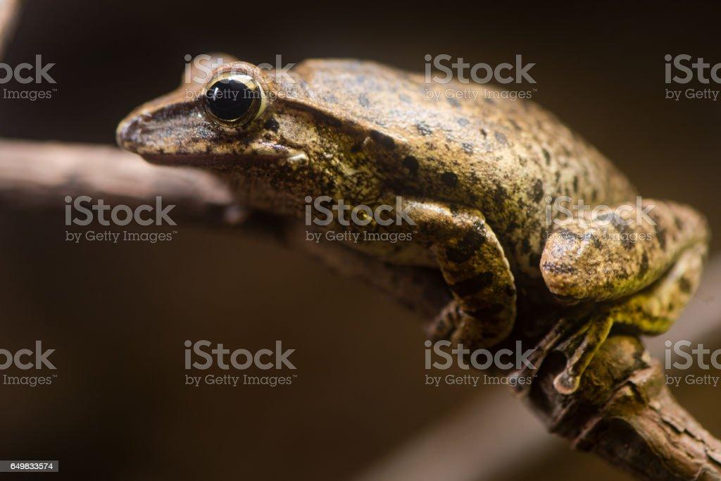 Golden tree frog (Polypedates leucomystax) stock photo