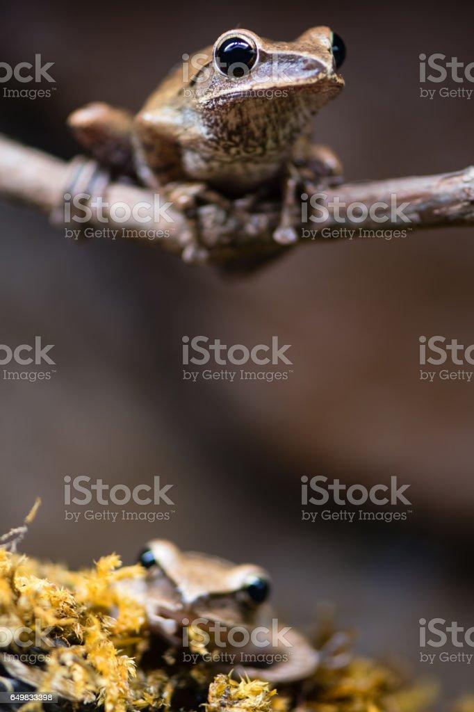 Golden tree frogs (Polypedates leucomystax) stock photo