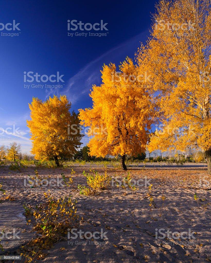 golden árbol de octubre foto de stock libre de derechos