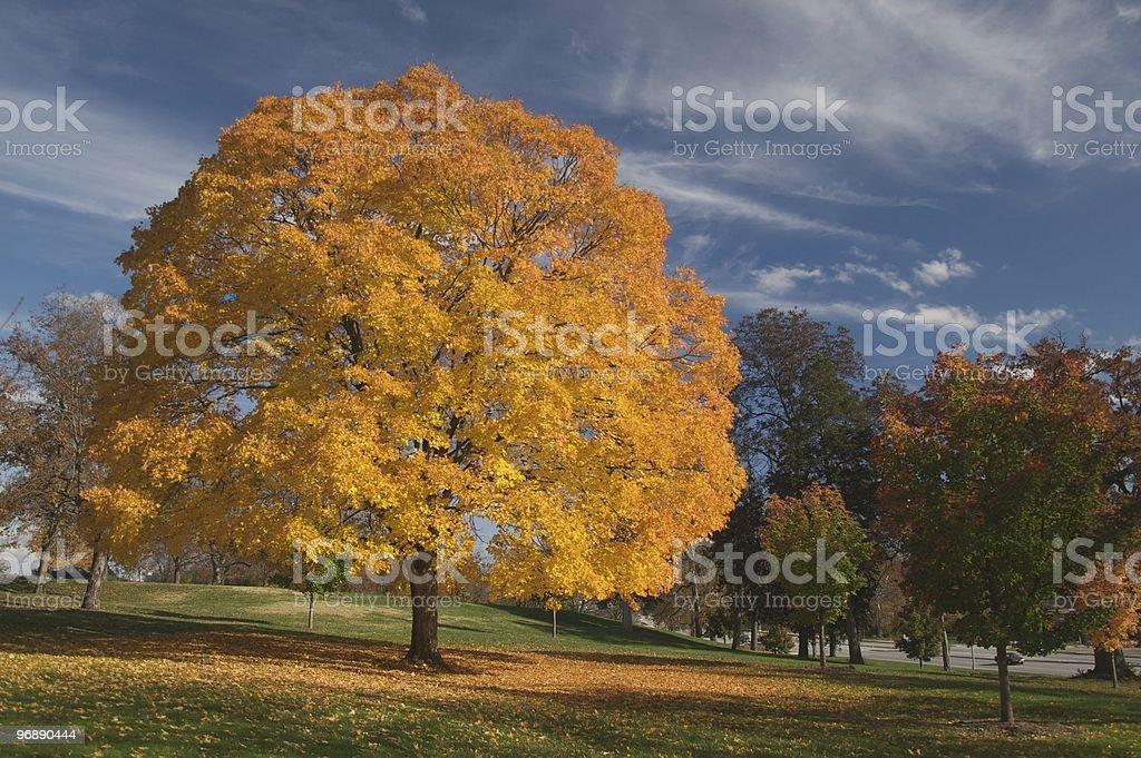Golden Tree in Park Setting stock photo