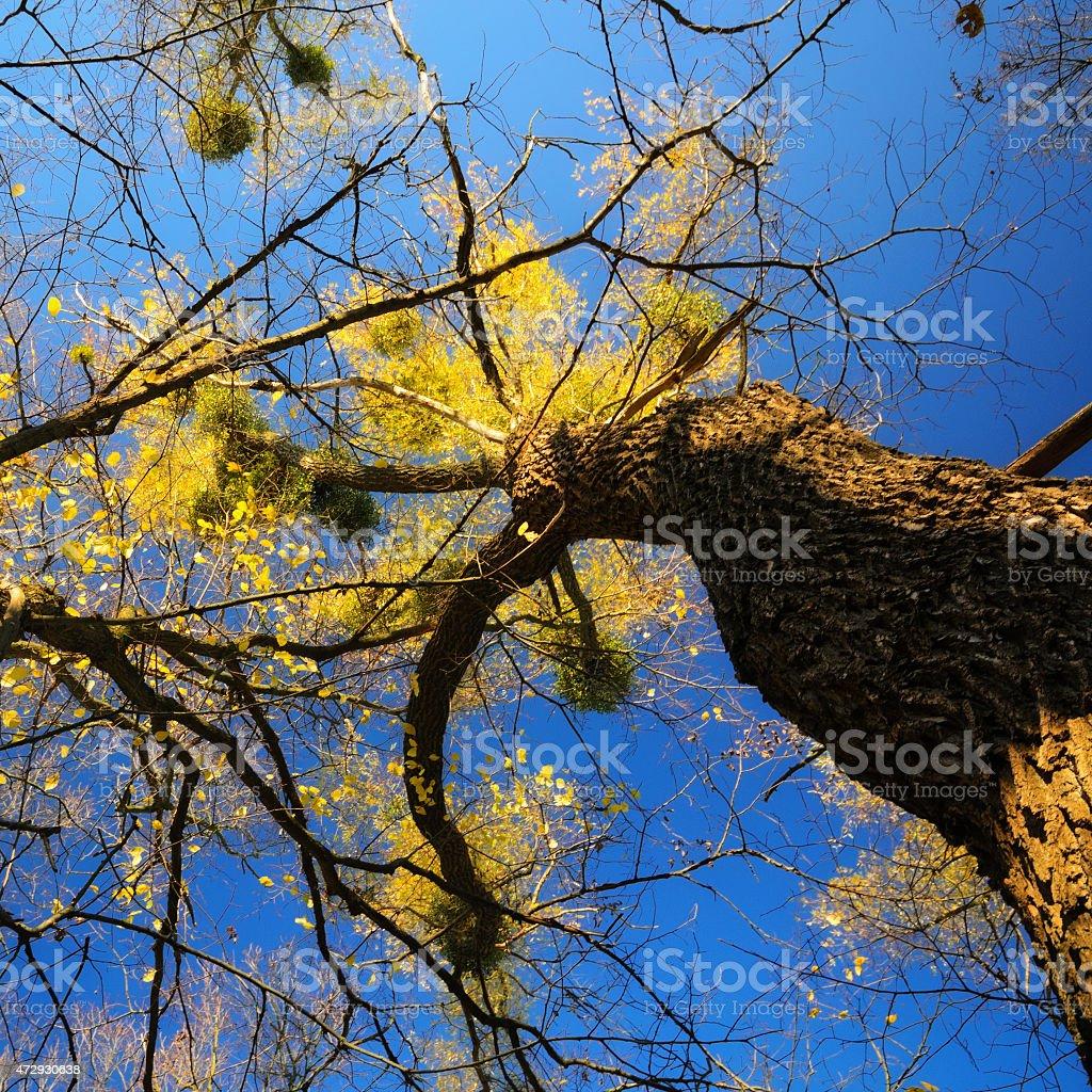 Golden árbol foto de stock libre de derechos