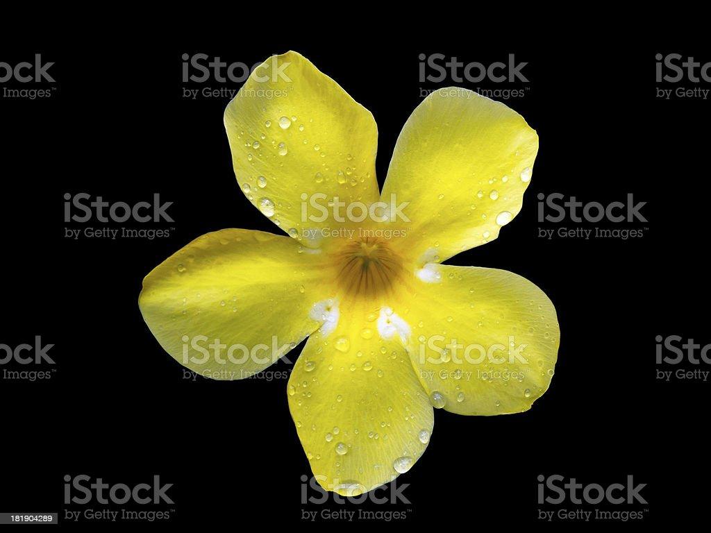 Golden Trumpet Flower royalty-free stock photo