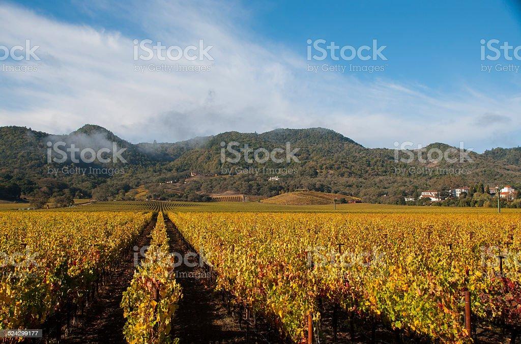 Golden vineyards in Autumn near Yountville California Napa Valley stock photo