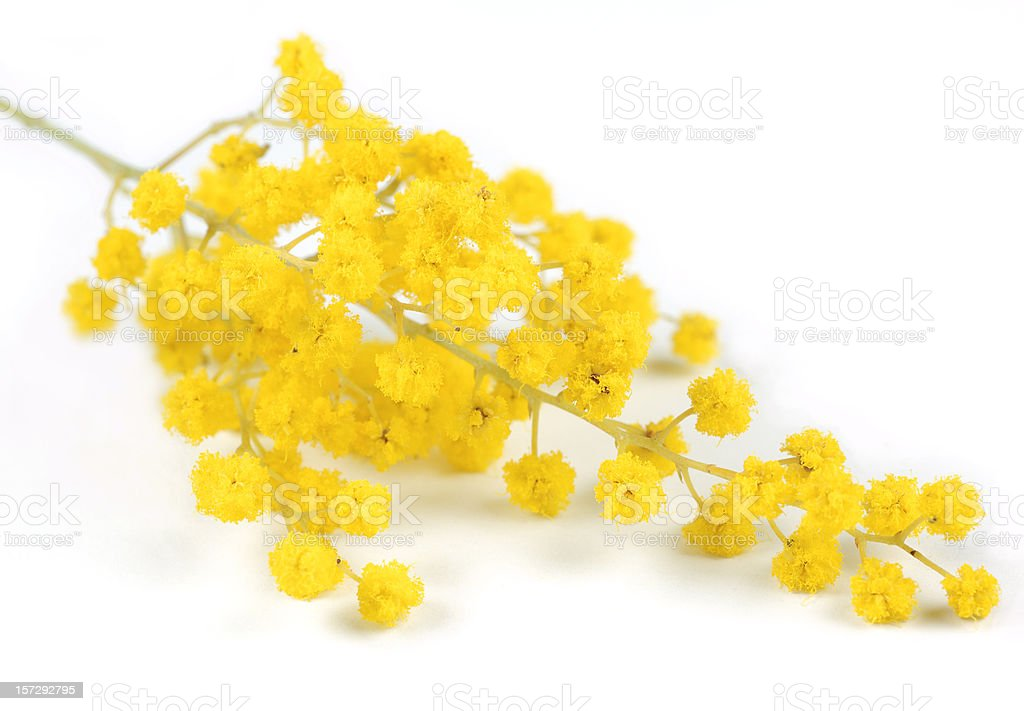 Golden wattle stock photo