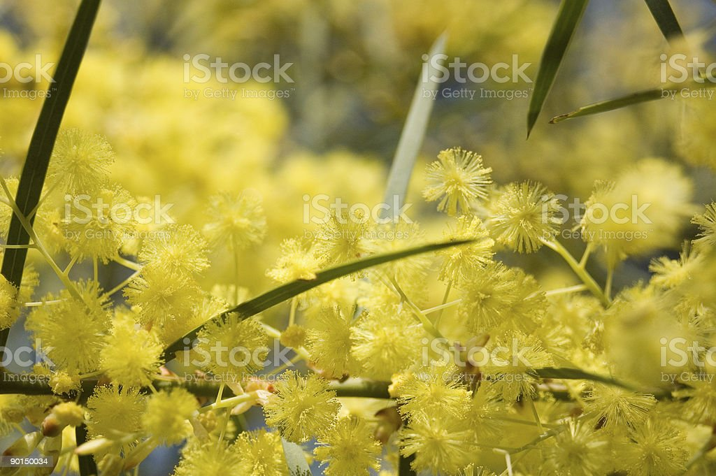 Golden Wattle royalty-free stock photo
