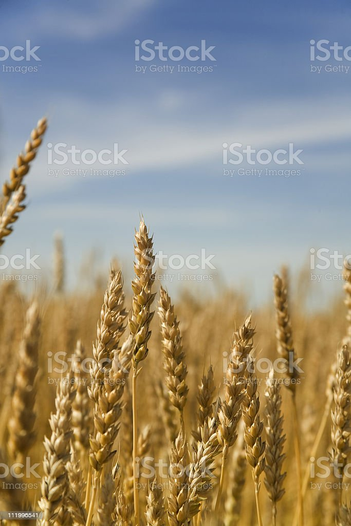 golden wheat and blue skies stock photo