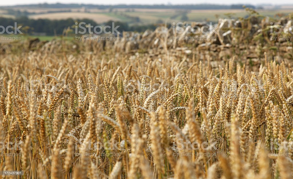 Golden wheat crop with dry stonewall royalty-free stock photo