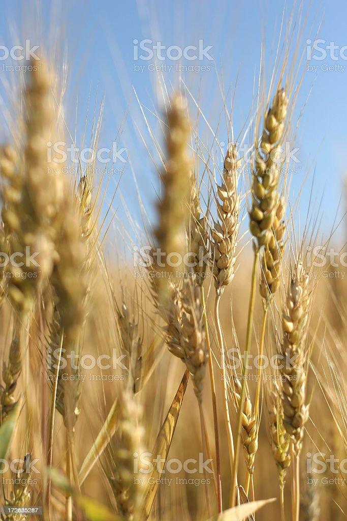Golden Wheat Field - 02 royalty-free stock photo