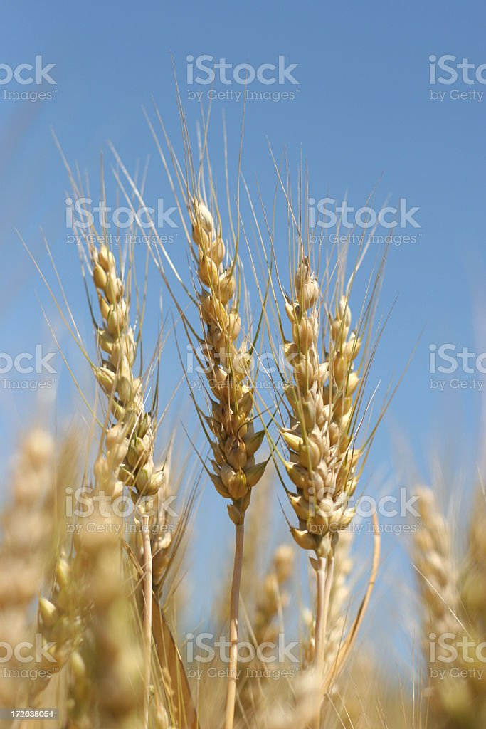 Golden Wheat Field - 04 royalty-free stock photo