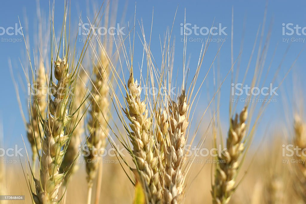 Golden Wheat Field - 11 royalty-free stock photo