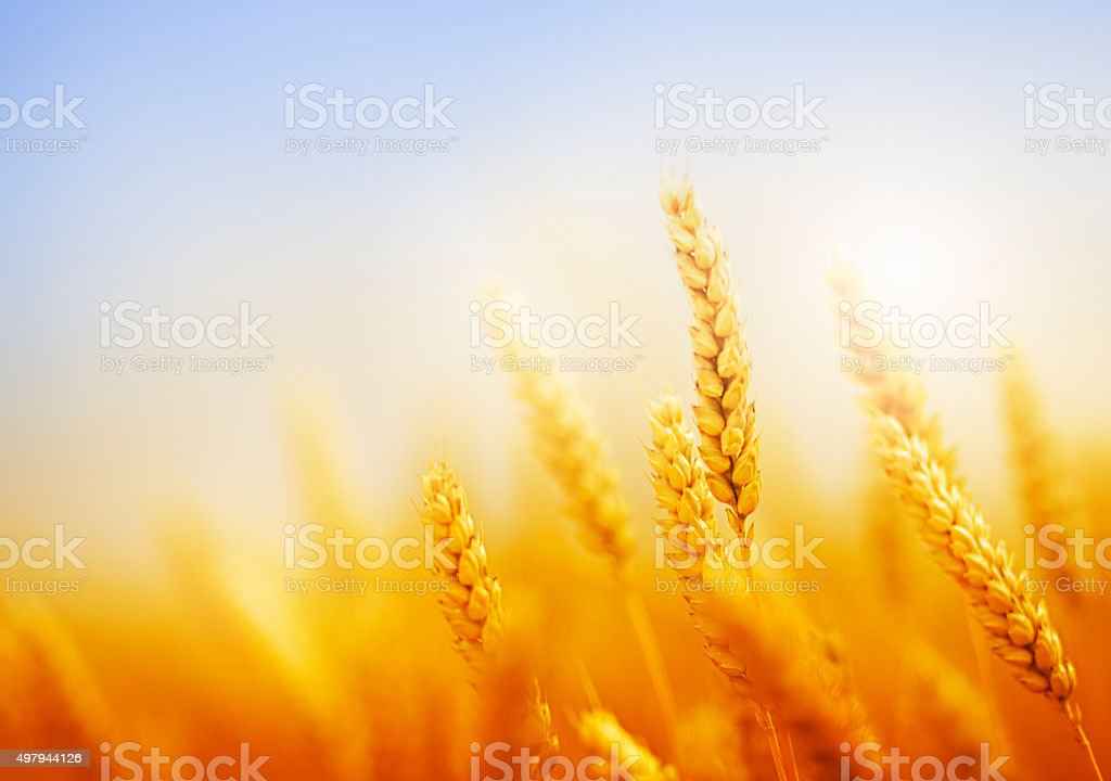 golden wheat field against blue sky stock photo
