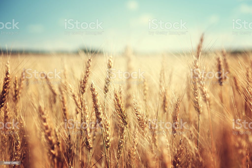 golden wheat field and sunny day stock photo