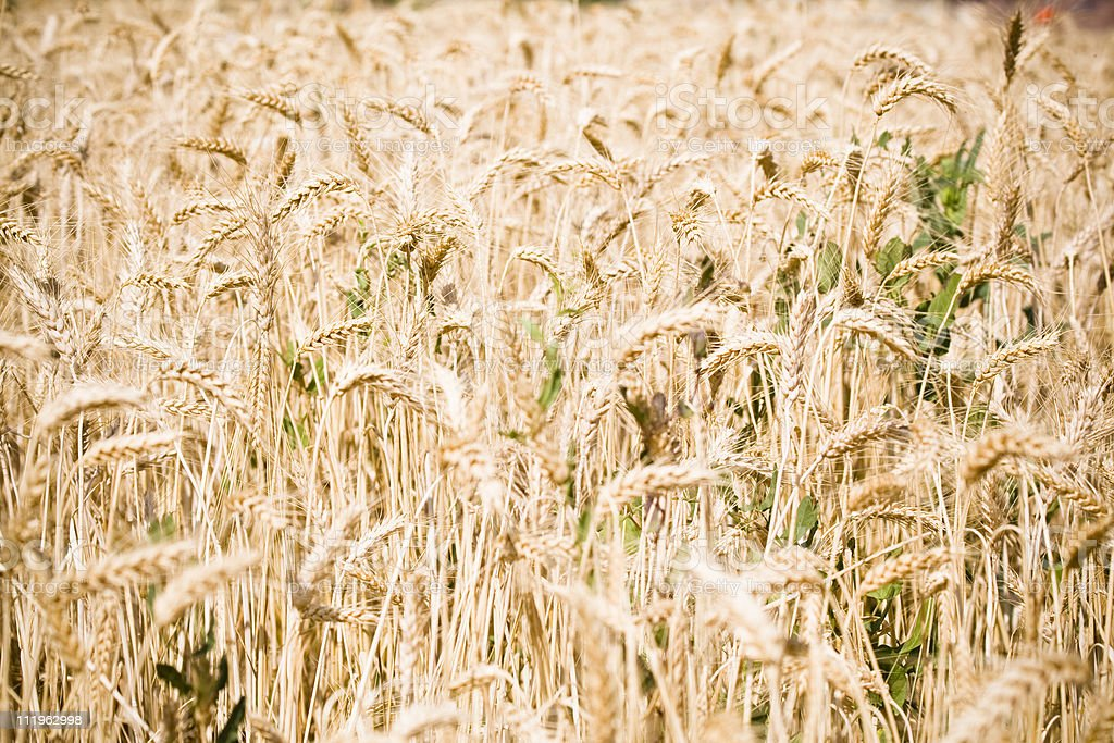 Golden wheat field background stock photo