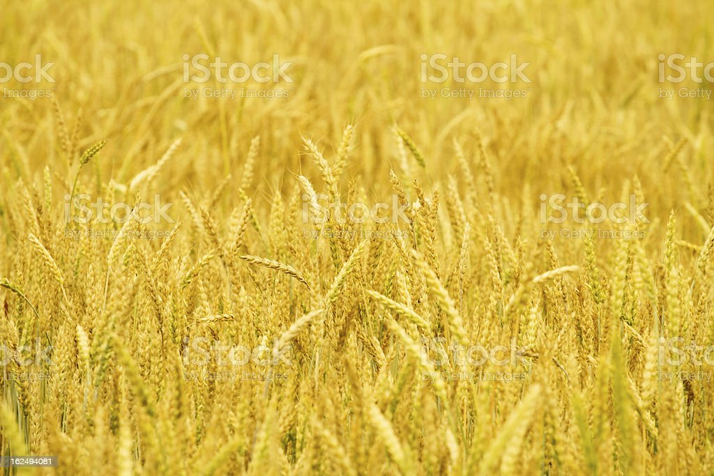 Golden wheat field background royalty-free stock photo