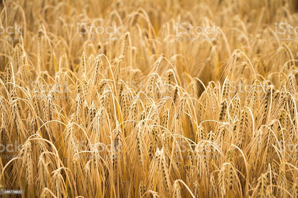 golden wheat field for harvest season stock photo