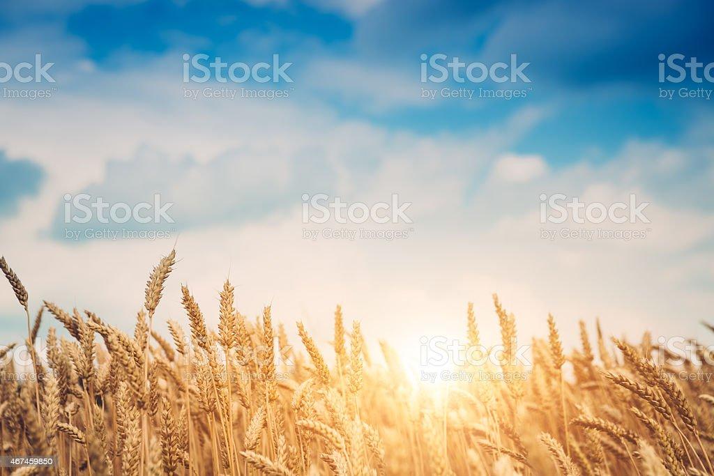 Golden Wheat Field In Morning Sunlight stock photo