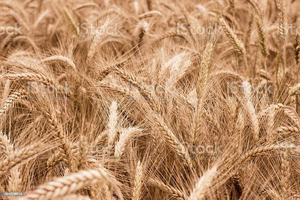 golden wheat field in summer royalty-free stock photo
