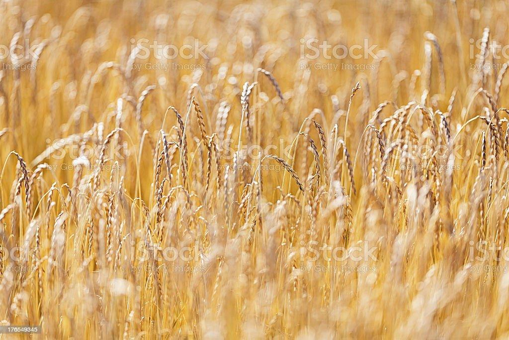 Golden Wheat Field in Summer Sun royalty-free stock photo