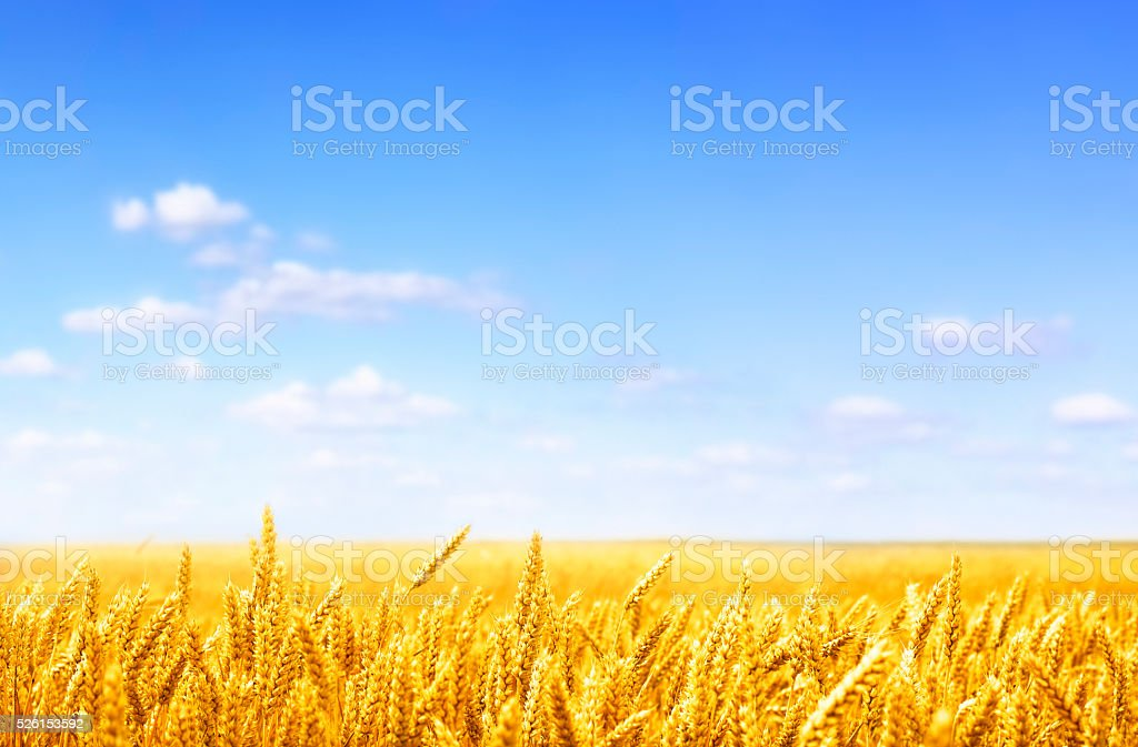 golden wheat field on sunny day stock photo