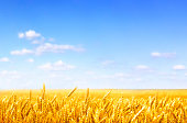 golden wheat field on sunny day