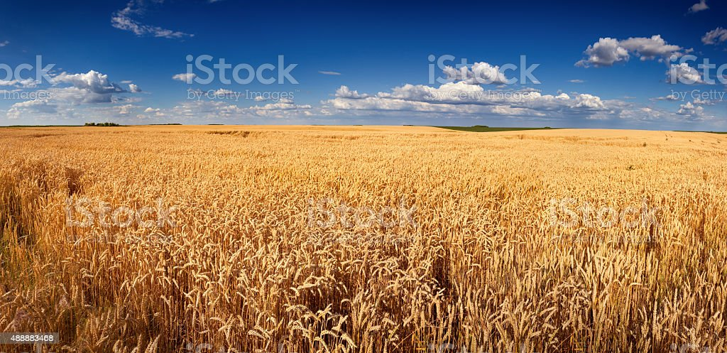 Golden wheat field panorama before harvest stock photo
