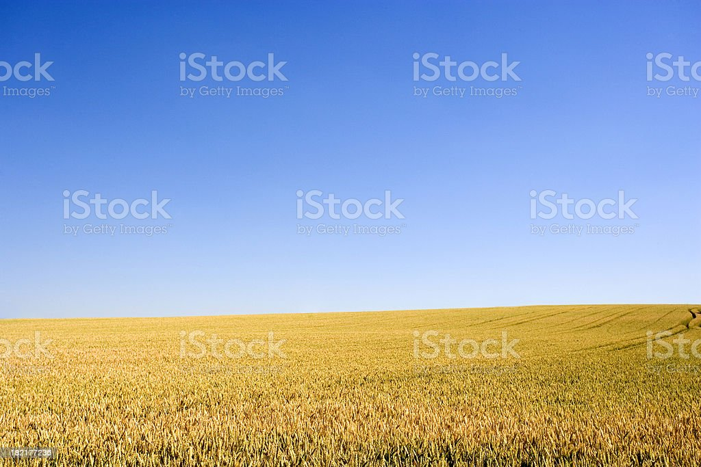Golden wheat field royalty-free stock photo