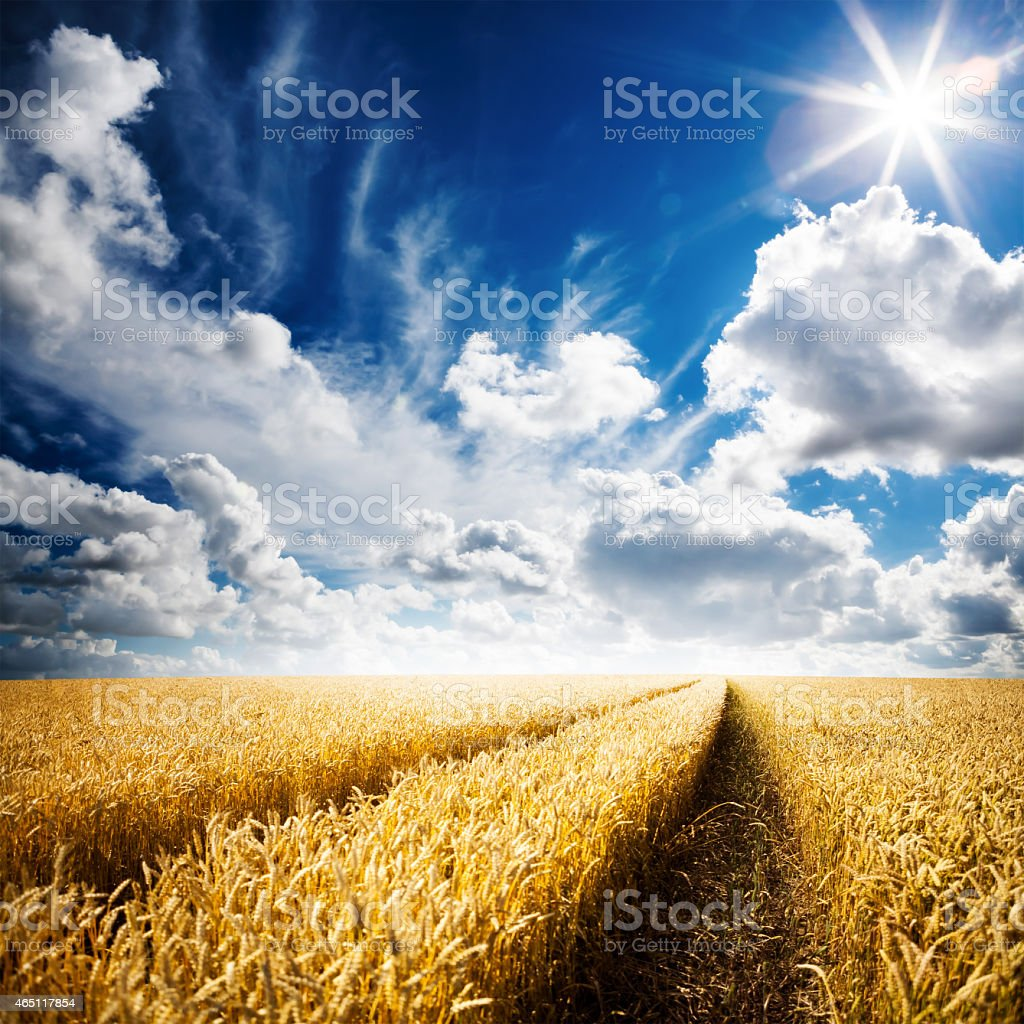 A golden wheat field under a cloudy blue sky stock photo