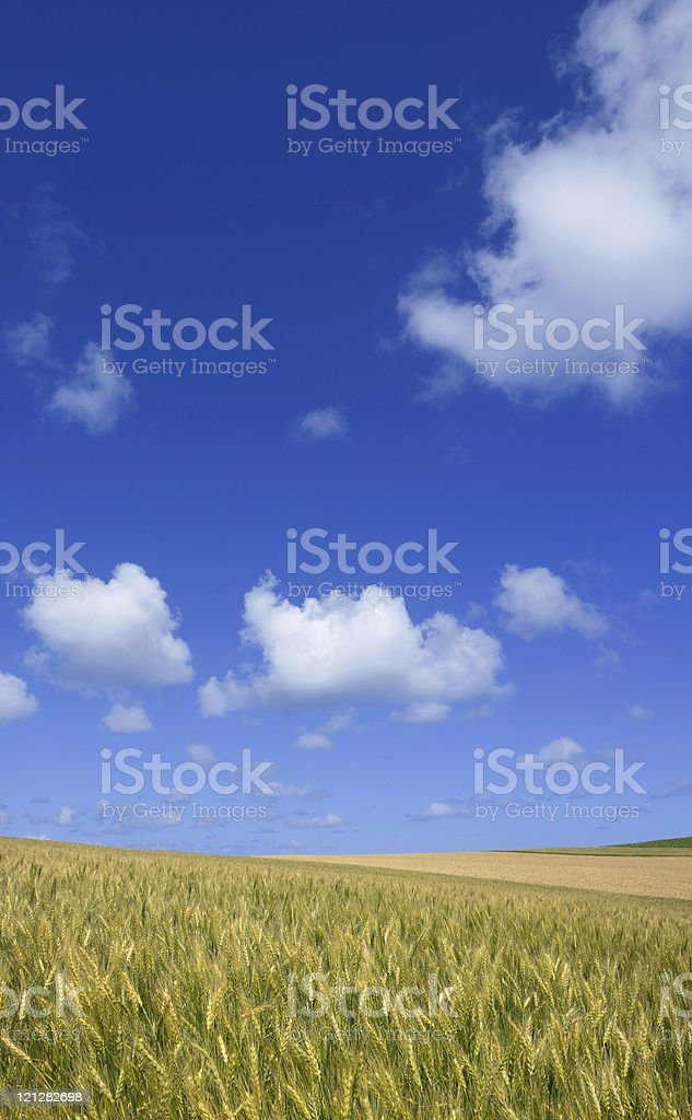 Golden wheat field with blue sky in background royalty-free stock photo