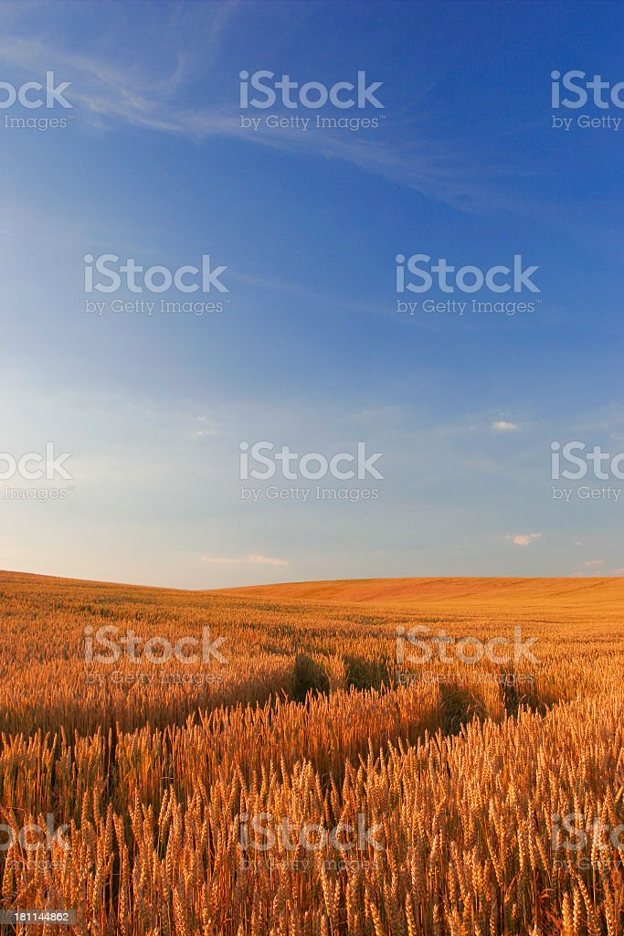 Golden Wheat Field with Blue Sky stock photo