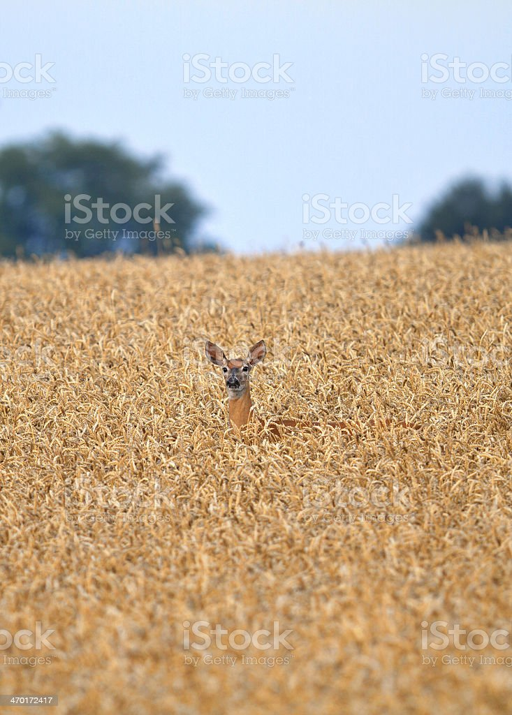 Golden Wheat Field with Deer - landscape stock photo