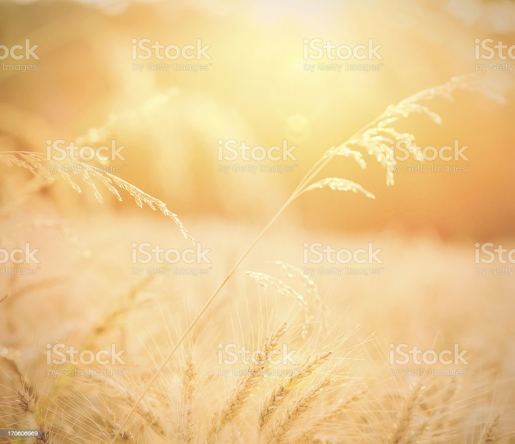 Golden Wheat Field with Natural Sun Flare royalty-free stock photo