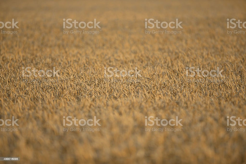 Golden Wheat Field with Selective Focus stock photo