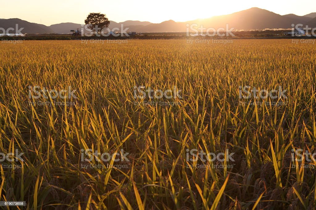 golden wheat field with sun rays. agriculture and harvest themes stock photo