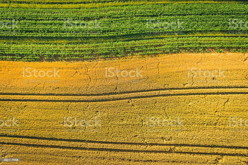 Golden wheat green maize sweetcorn crop fields aerial agriculture background stock photo