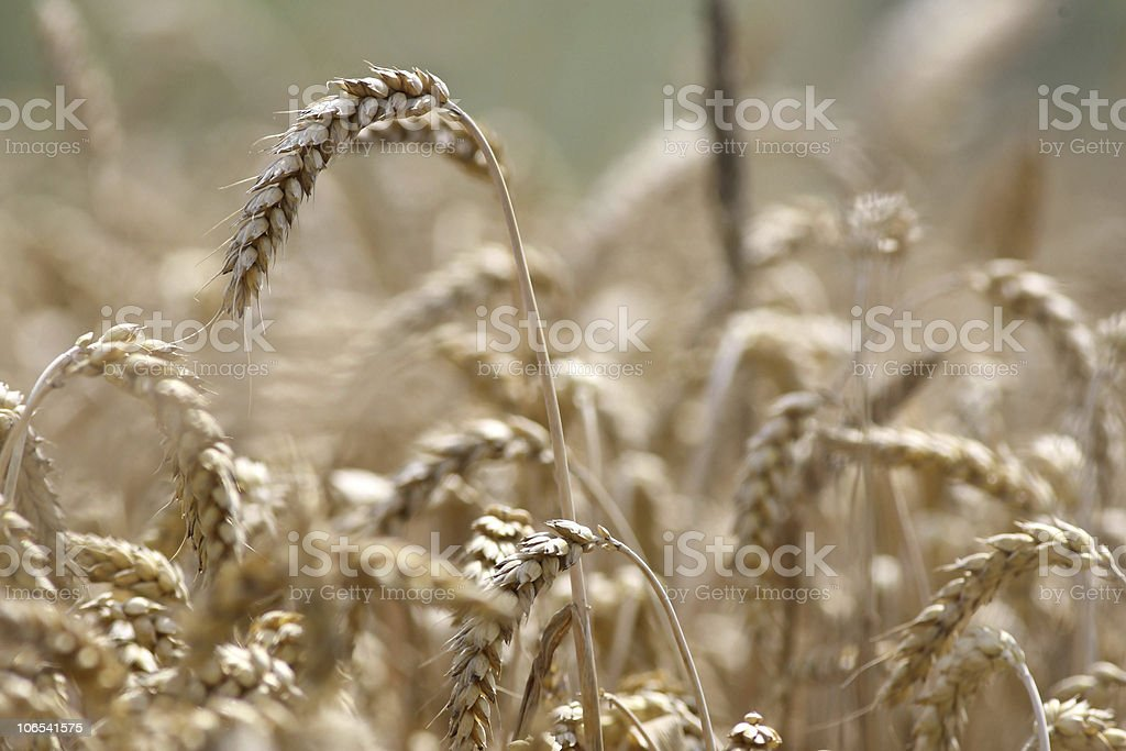 Golden wheat growing in a farm field royalty-free stock photo