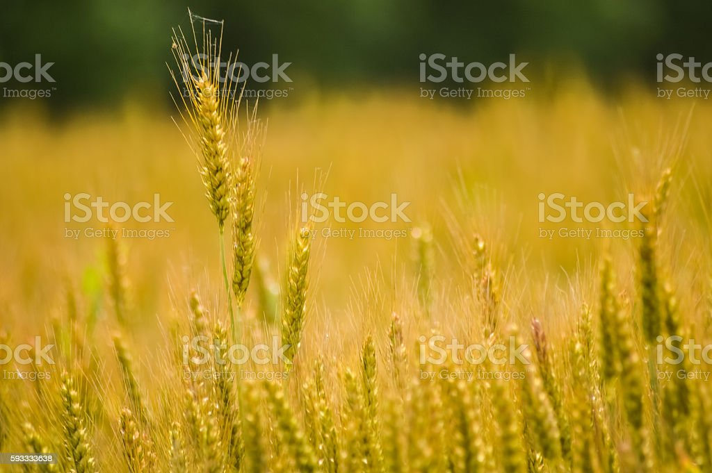 golden wheat in a field stock photo