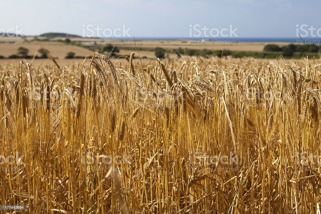 Golden Wheat in Rural Landscape royalty-free stock photo