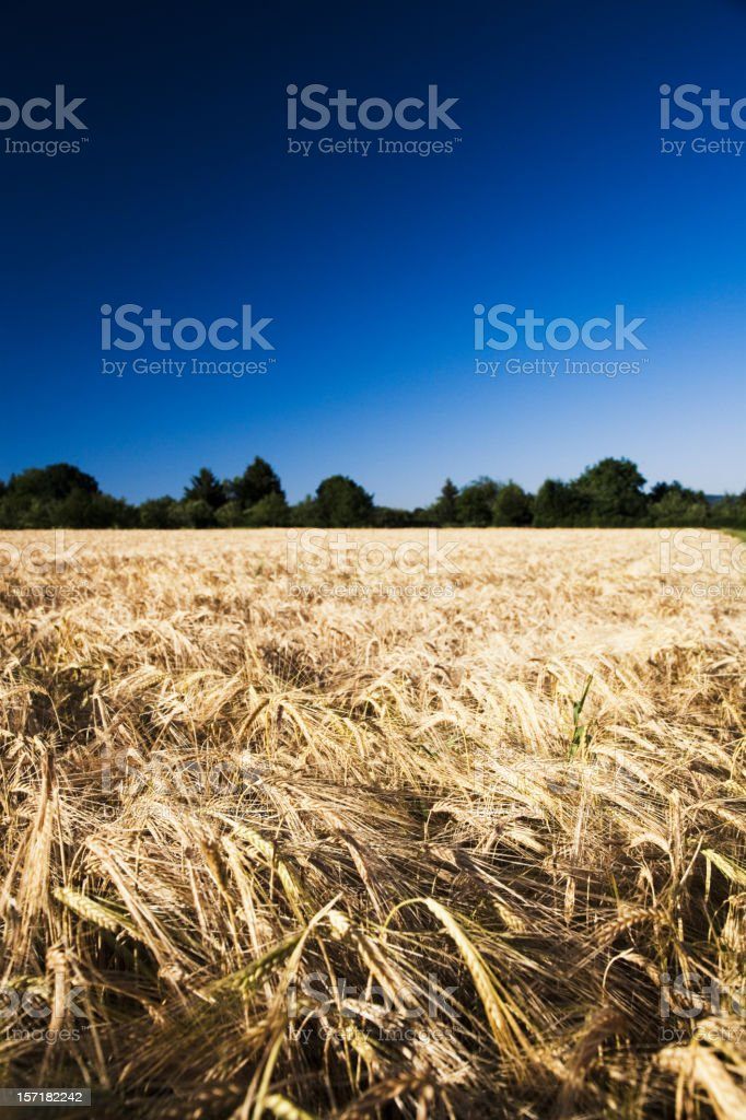 golden wheat landscape royalty-free stock photo
