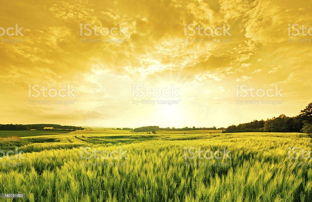 golden wheat landscape stock photo