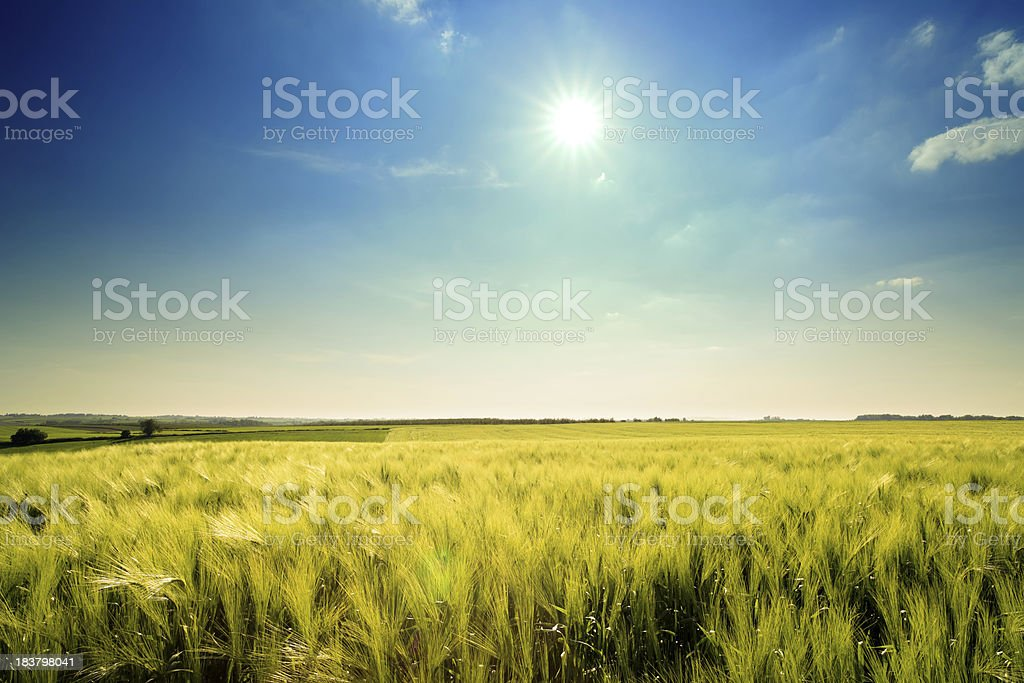 Golden wheat landscape royalty-free stock photo